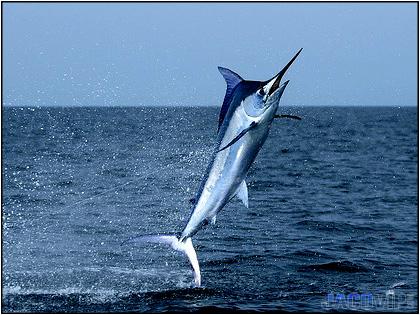 description essay blue marlin